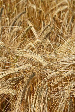 field of wheat ear