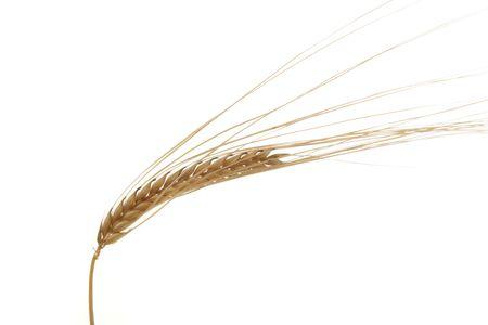 Golden Wheat Ear photo