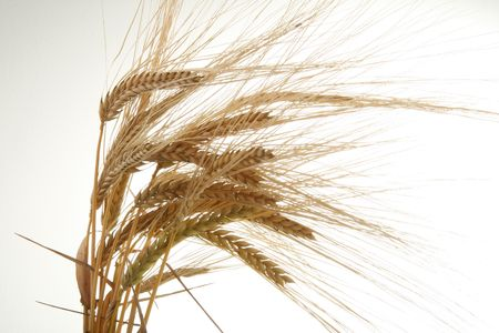 ear of wheat isolated on white background photo
