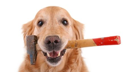 working animal: dog with hammer Stock Photo