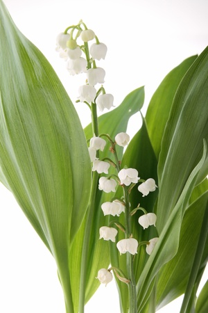 lilly of the valley photo
