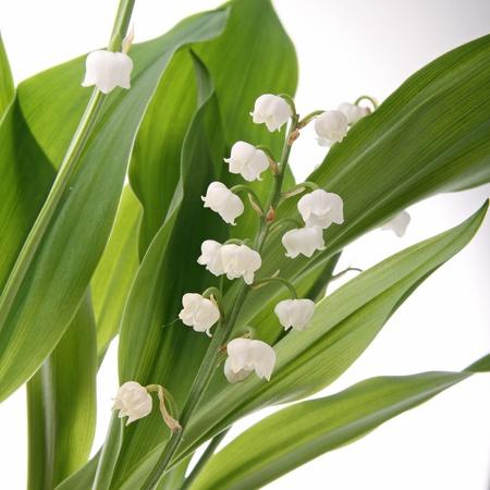 muguet: lily, mayflower