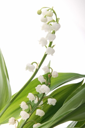 muguet: lilly of the valley