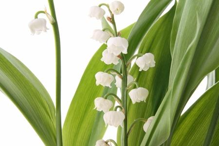 muguet: lilly Stock Photo