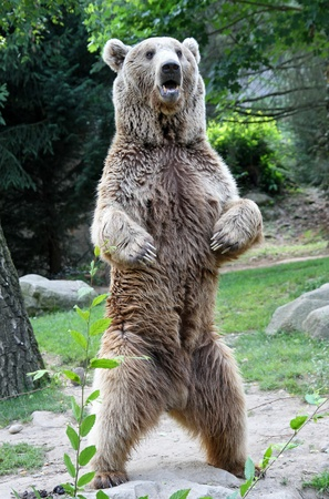 grizzly bear: bear Stock Photo
