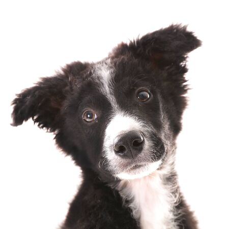 border collie, cute puppy portrait isolated on white background