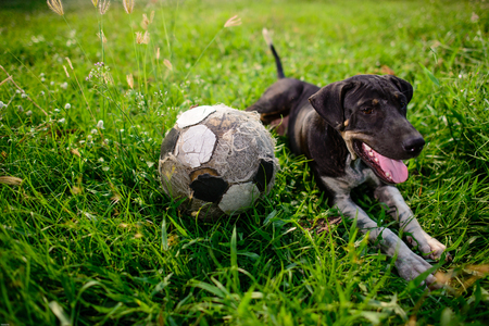 eye ball: Cute dog with an old football on green grass
