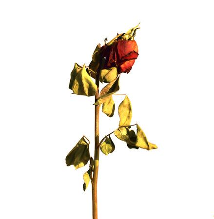 rosa seca Foto de archivo