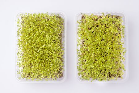fresh micro greens in a container on a white background. horizontal photo Reklamní fotografie