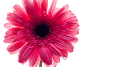 Blooming, fresh, pink gerbera on a white background. Copy space. Banner