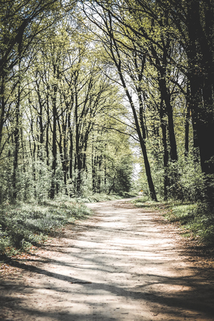 foliar: The road in the woods in early spring with translucent leaves and tall slender trees, the filter