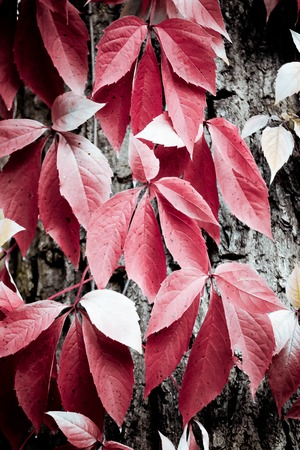 lagging: Red creeper leaves trailing on tree bark close-up filter