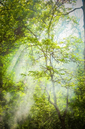 frondage: Tall trees with branches and green leaves with sun rays that shine through the green leaves of the crown, the filter