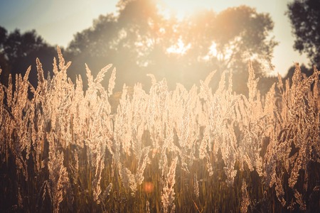 sways: Old dry grass sways in the wind whisk toned, filter Stock Photo