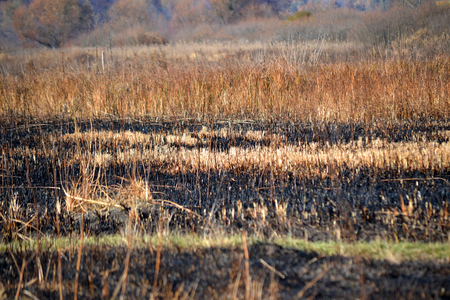 scorched: Stems of dry grass on the scorched field day
