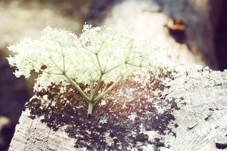 inflorescence: inflorescence of white little flowers lying on wood, elder,