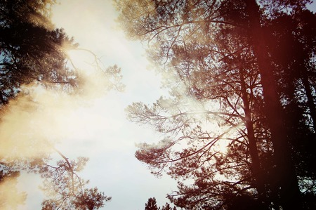 frondage: Tall trees with branches and leaves with sun rays that shine through the  leaves of the crown, dark vintage filter
