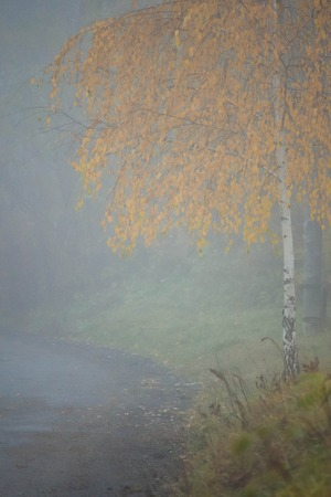 nuances: Birch in the fog near the road with filter