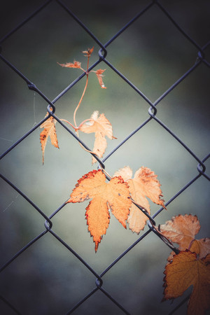 lagging: yellow leaves of ivy woven through the lattice filter