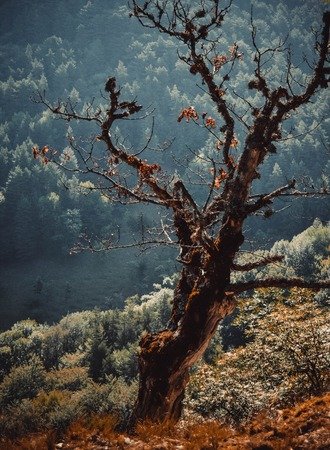 sapless: dry tree in the forest and with the prospect and filter Stock Photo