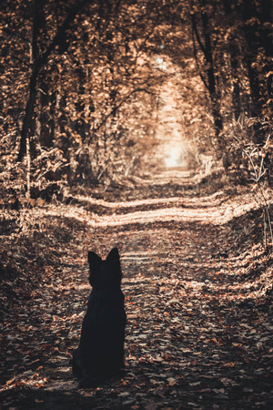 foliar: dog sitting back on a forest road and looks away in the fall
