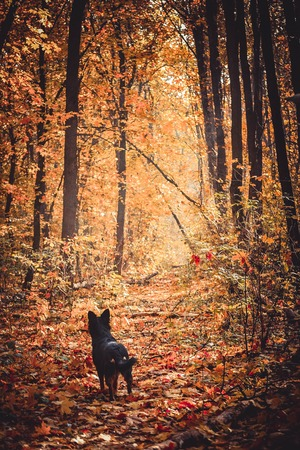 foliar: black dog listens in the autumn forest, autumn leaf fall or defoliation, all strewn with yellow leaves