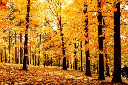 foliar: forest or park with trees that have yellow leaves day, filter effect