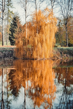 foliar: willow with orange leaves and its reflection in water, filter