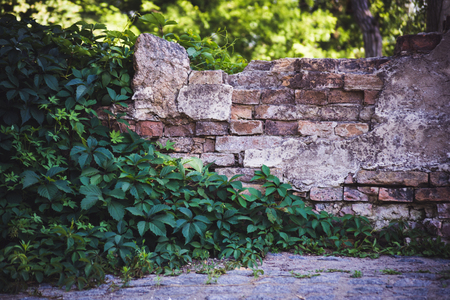 eldest: Old destroyed brick wall with ivy growing on it close-up