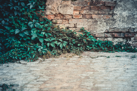 Old destroyed brick wall with ivy growing on it close-up Reklamní fotografie - 82065055