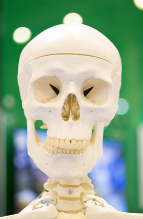 Dummy layout human skull closeup, medical exhibit