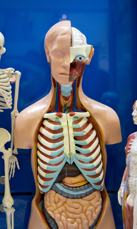 guts: Human internal organs dummy, training dummy, detail of the face, thorax and intestines. Healthcare concept. Human anatomy