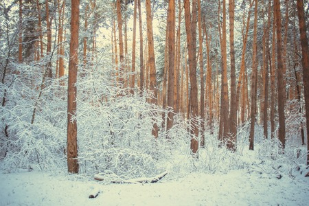 Tree pine spruce in magic forest winter with falling snow. Snow forest. Christmas Winter New Year background trembling scenery.