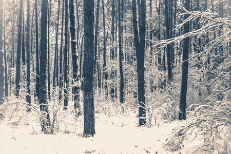 Old vintage photo. Tree pine spruce in magic forest winter with falling snow. Snow forest snowfall. Christmas Winter New Year background trembling scenery. 스톡 콘텐츠
