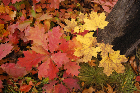 yellow maple leaves grow about red oak leaf