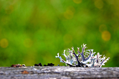 Moss,lichen on top of the white, bottom black rose grew up  on a wooden surface on the big green blurred background