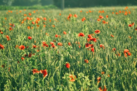 background Field with green shoots of grain and poppy flowers, green  color