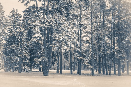 Old vintage photo. Tree pine spruce in magic forest winter day. Snow forest. Natural New Year Christmas rembling scenery winter background. Fantastic Fairytale Magical Landscape View Christmas Tree Stock Photo