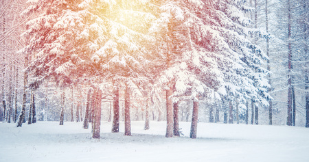 Fantastic Fairytale Magical Landscape View Christmas Tree Forest Park in Winter on a Sunny Day During a Snowfall. Concept Christmas Winter New Year Scenery background. Stock Photo