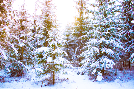 Fantastic Fairytale Magical Landscape View Christmas Tree Forest Park in Winter on a Sunny Day. Christmas Winter New Year Scenery background.
