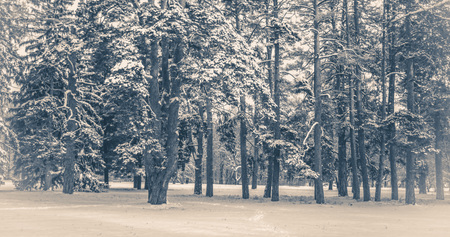 Old vintage photo. Fantastic Fairytale Magical Landscape View Christmas Tree Forest Park in Winter on a Sunny Day During a Snowfall. Concept Christmas Winter New Year Scenery background. Stock Photo