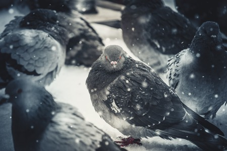Gray pigeon dove sit on the snow on cold frosty day in winter during snowfall, falling snowflakes, spots white color. Winter Christmas New Year background. Stock Photo