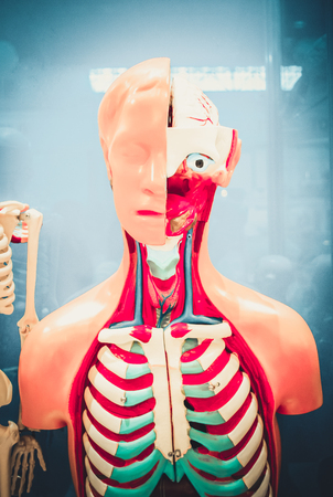 Human internal organs dummy, training dummy, detail of the face, thorax and intestines. Healthcare concept. Human anatomy