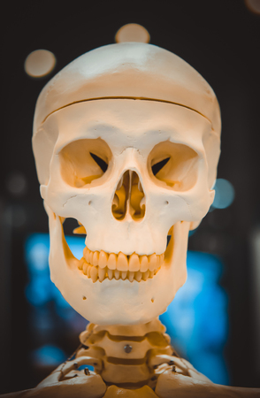 Dummy layout human skull closeup, medical exhibit