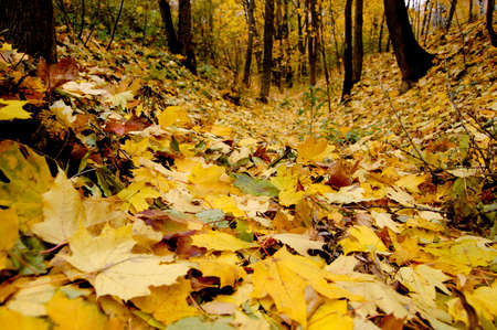 many fallen yellow leaves on the ground in the forest, park
