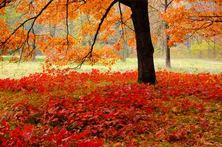 red leaves under an oak tree in autumn