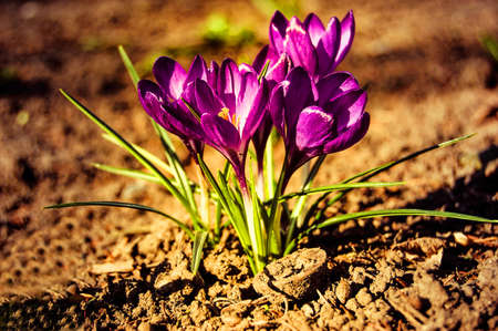 Cousteau small purple crocus flowers closeup with brown earth