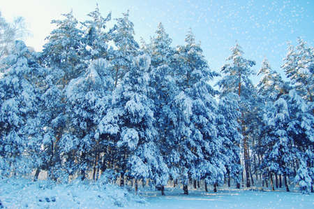 tall pines with lots of snow Standard-Bild - 167193052