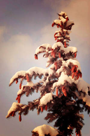 fir with cones and snow