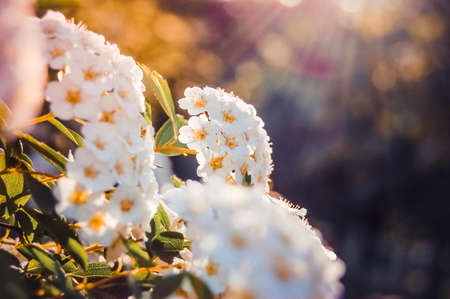 many little white flowers